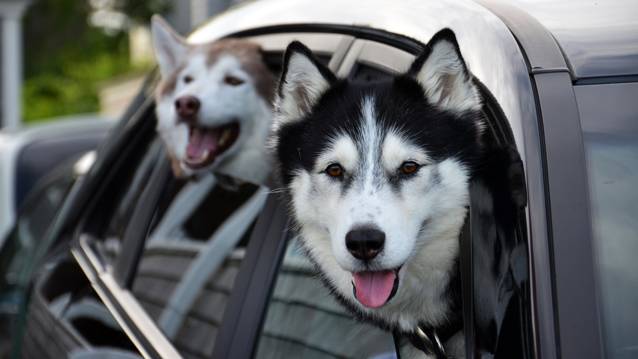 Znalezione obrazy dla zapytania pies w aucie
